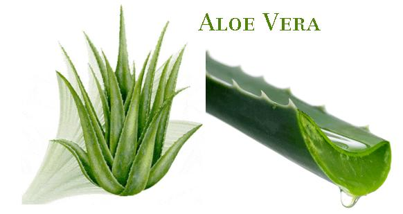 Aloe Vera Plants Make Great Ornament Plants